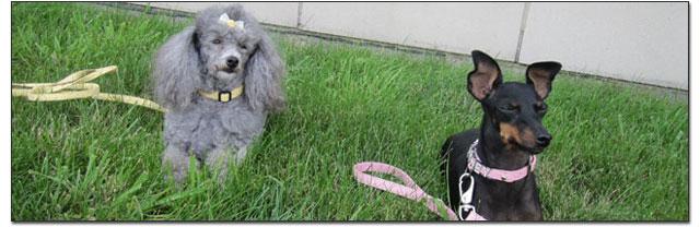 Toy Breeds in grass